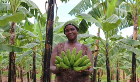 agriculture-bananas